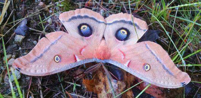 Antheraea Polyphemus. Silkmoth