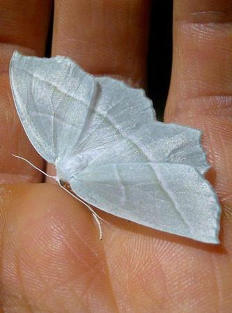 Campea perlata. The pale beauty moth